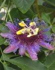 cincinnata `Dark Pollen`