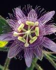menispermifolia