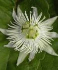 malacophylla