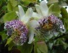 sidifolia