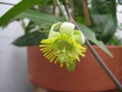 megacoriacea