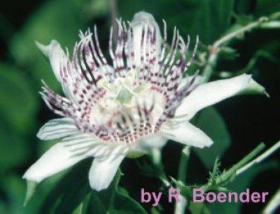 adenopoda