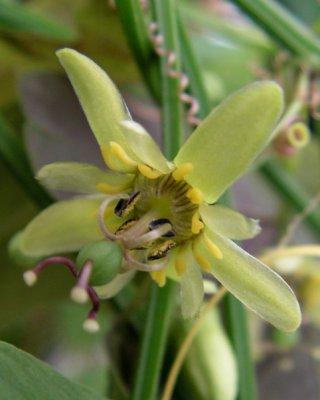 allantophylla