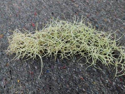 Tillandsia usneoides grob